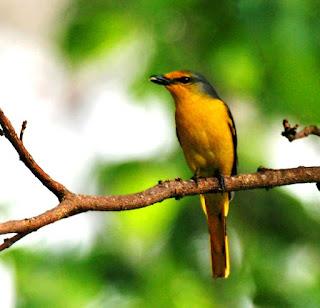 Female Scarlet Minivert in Coorg - Birding in Coorg