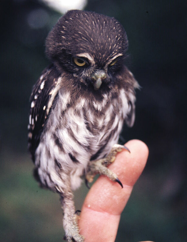 Baby Animals: Baby Owl