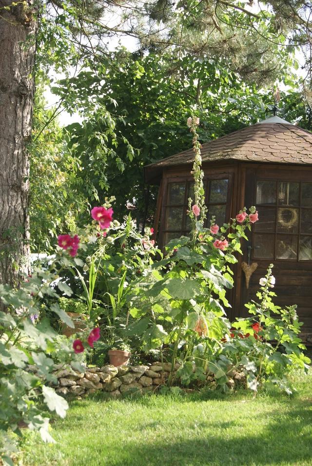 Garten Dauerblüher Stockrosen unter Kiefer