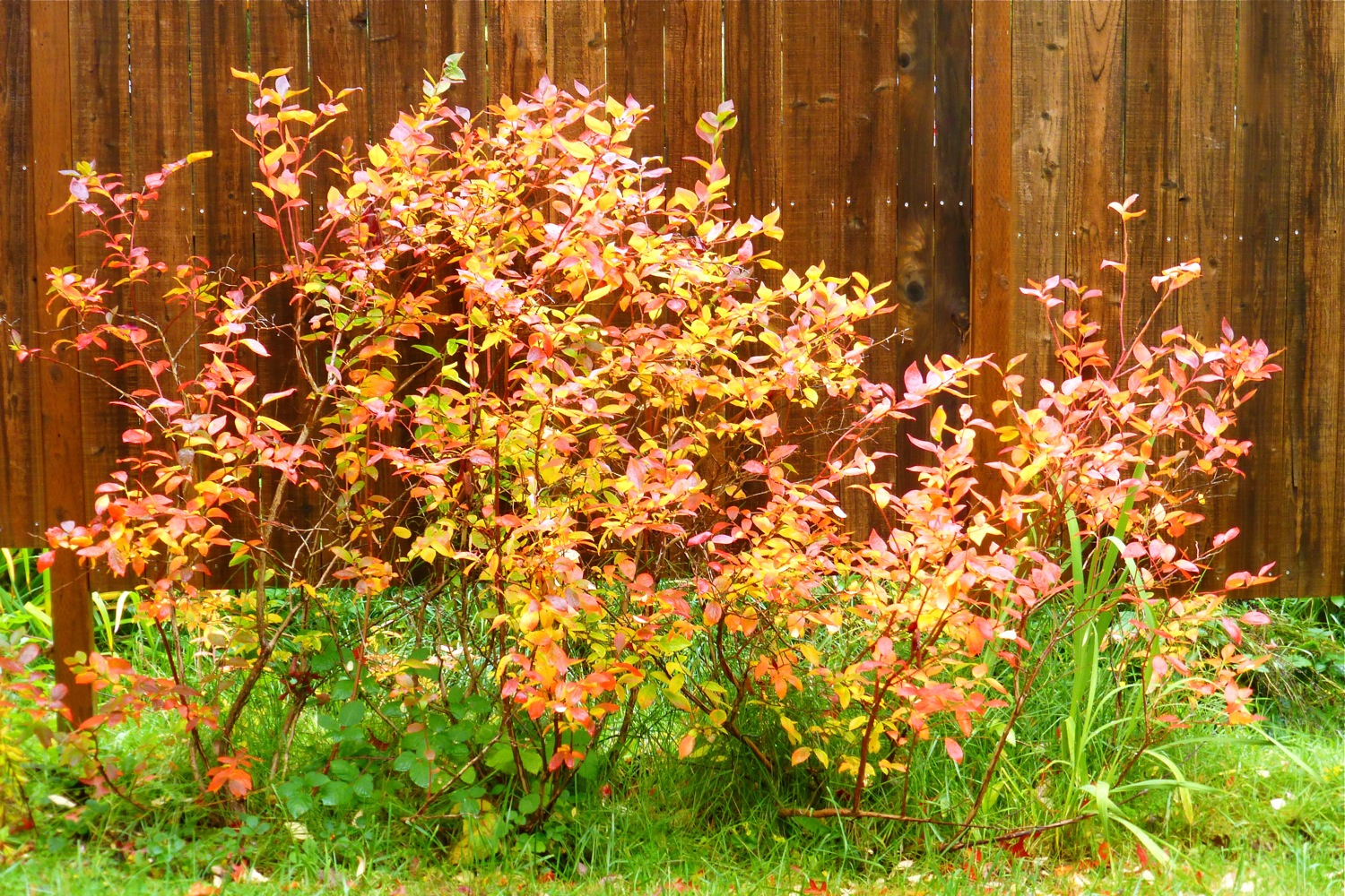 autumn garden, blueberries in autumn, autumn blueberry bushes