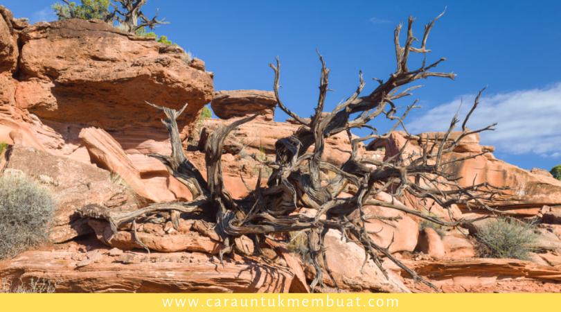 Dead Juniper Tree on Canyonlands 2