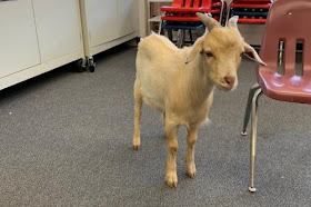 Goats wander into Utah elementary school