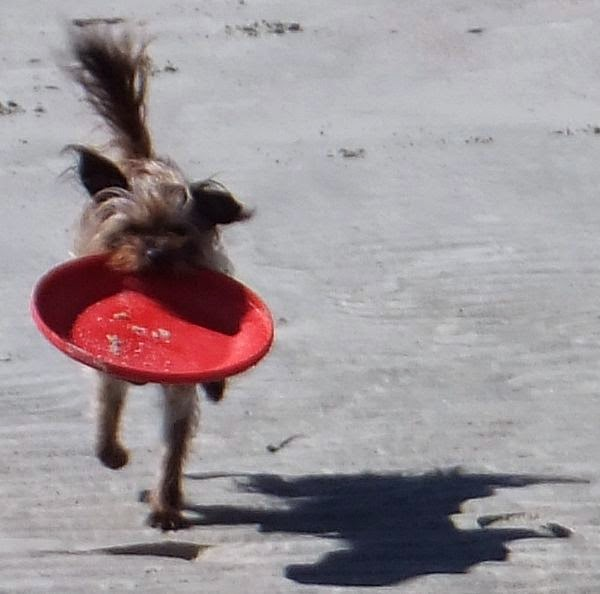 frisbee dog, fulltime rving in a  tioga montara class c motorhome at Hunting Island state park in South Carolina