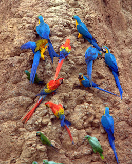 macaws feeding on clay