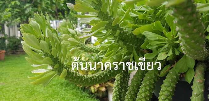 สายพันธุ์นาคราชที่นิยมในไทย