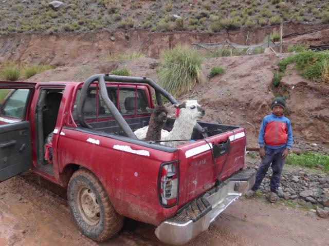 Lamas wollen nicht durch den Matsch gehen, im Auto ist es halt bequemer.