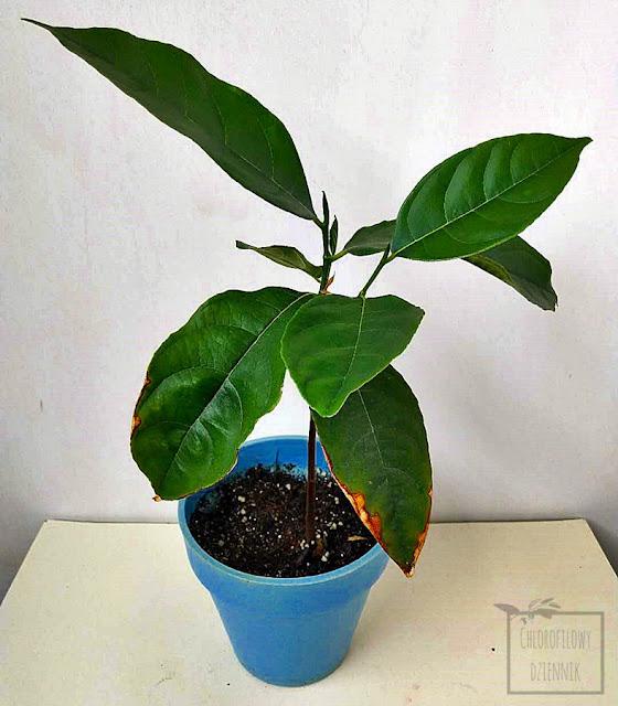 Jackfruit (Artocarpus heterophyllus), inaczej chlebowiec różnolistny, uprawiany w domu, hodowla w doniczce z nasiona, od nasionka, z pestki, tropikalna roślina egzotyczna z nasion, azjatycki owoc, ciekawostka botaniczna, ciekawy gatunek, rzadkie rośliny owocowe uprawiane w domu.
