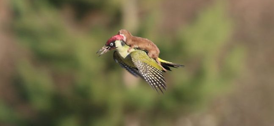Adorable Video Depicts Baby Weasel Taking A Ride On Woodpecker's Back