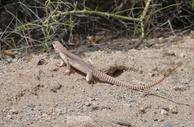 desert iguana  ;   iguane du desert