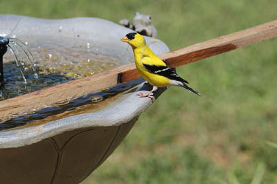 Photo of American Goldfinch on a bird bath