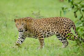 interesting facts about Leopard