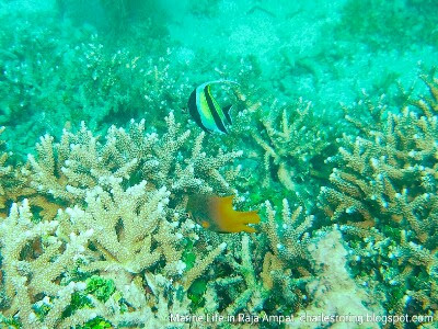 Yellow-tailed Damselfish and Moorish Idol