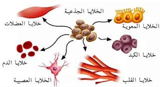 الخلايا الجزعية