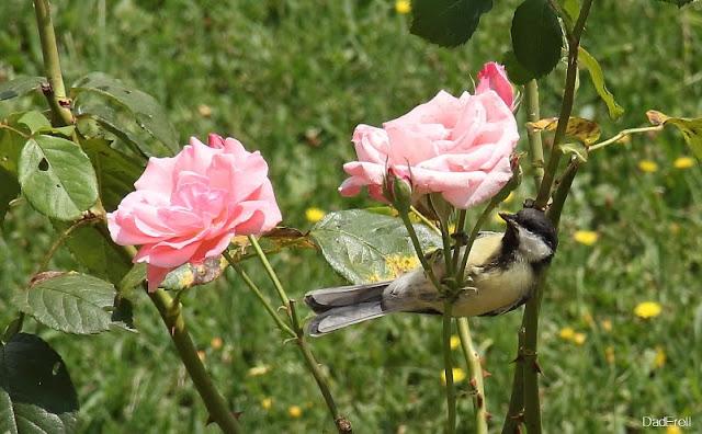 Une mésange chasse des pucerons sur un rosier