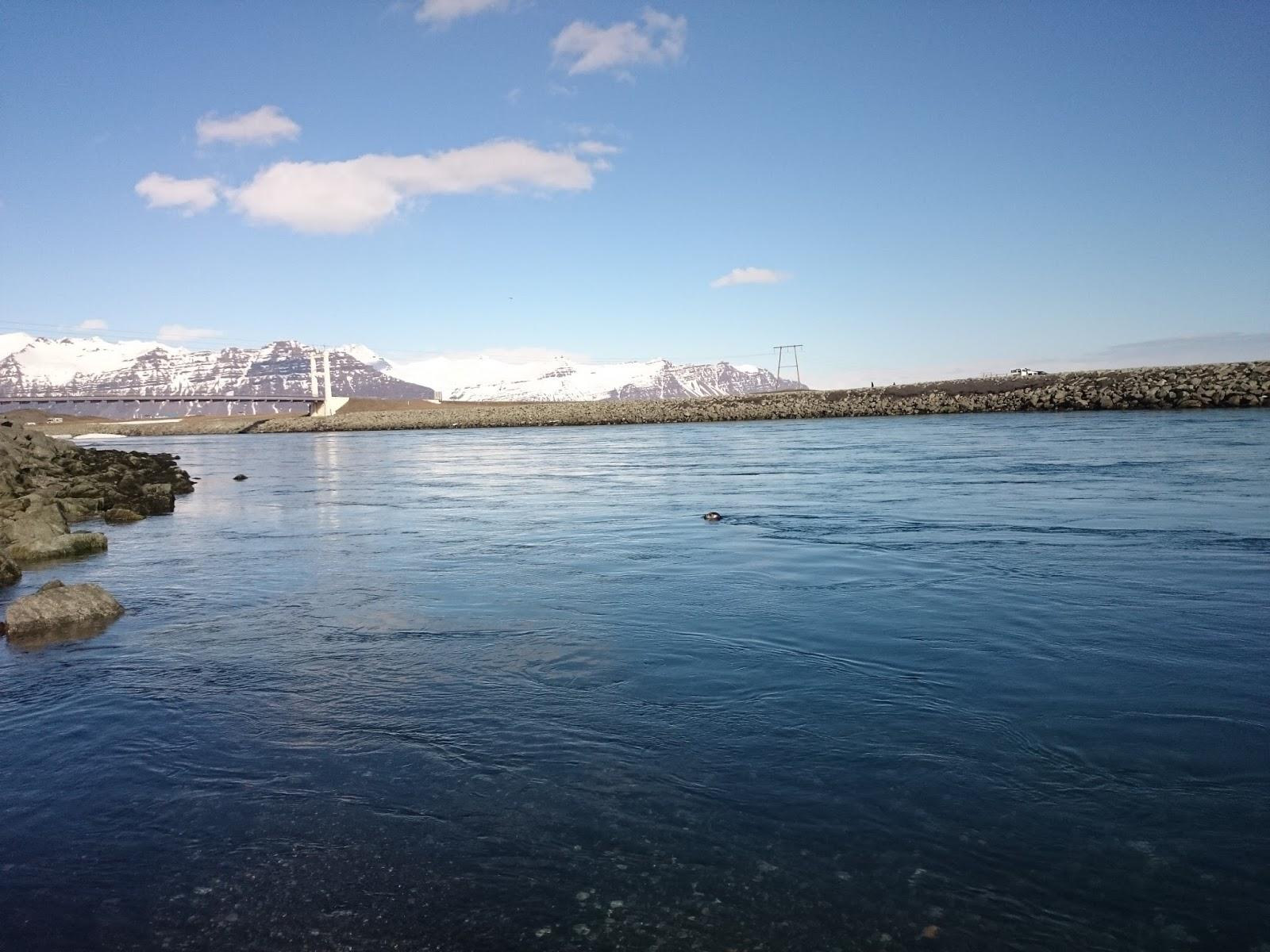 foka, Jokulsa, rzeka, islandzka rzeka, Laguna Lodowcowa, Islandia, Ice Lagoon, Jokulsarlon, lodowiec, panidorcia, blog o Islandii