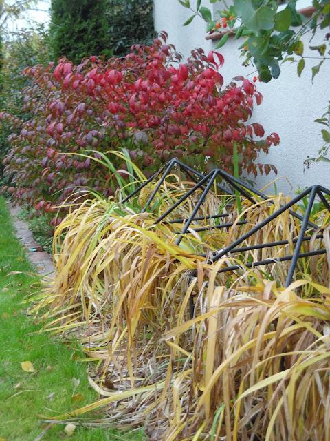 trzmielina oskrzydlona Compacta, liliowce jesienią
