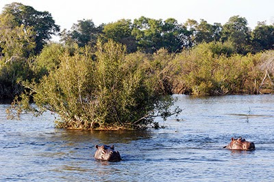 Hippos in the Zambezi River