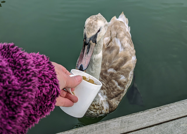 Photo of me feeding the cygnet from the pontoon next to Ravensdale