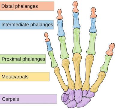 Tulang di Jari tangan dan telapak tangan manusia