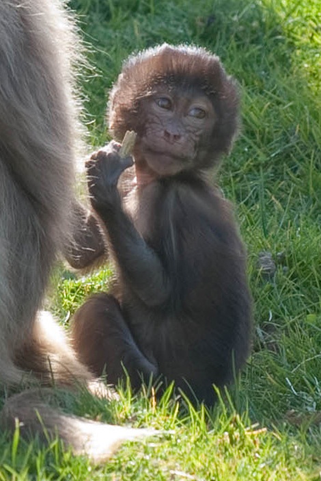 Baby Animals: Baboon infant 14