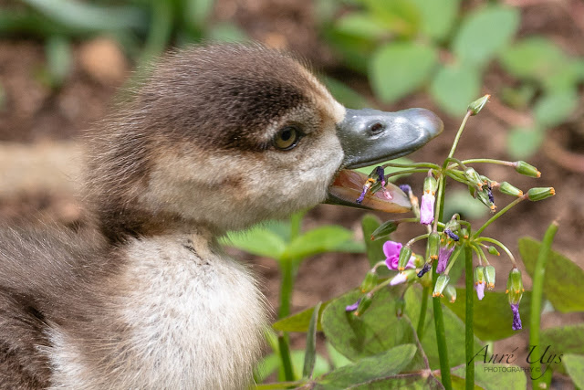 Little Gosling munching flowers Kirstenbosch National Botanical Garden