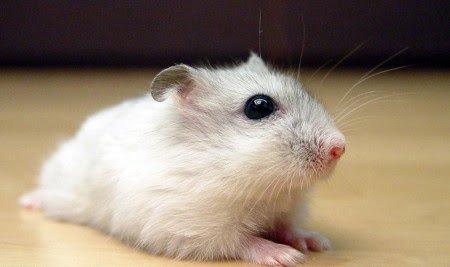 10 Ciri-Ciri Hamster Stres dan Cara Mengatasinya dengan Mudah