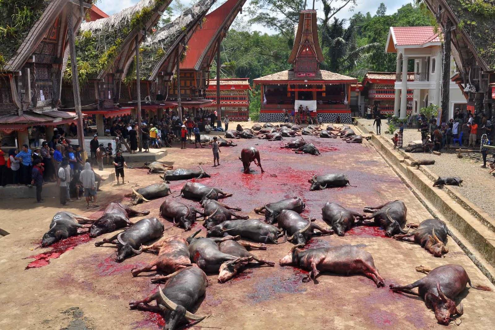 Alasan Mengapa Orang Mati Di Toraja Dipotongkan Hewan