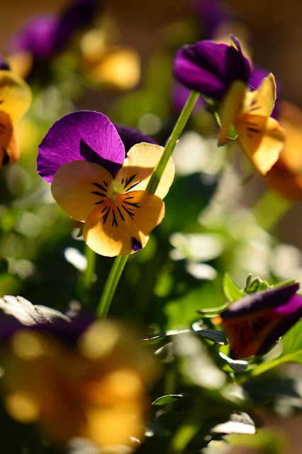 violas, small sunny garden, amy myers, photography, desert garden, winter annuals