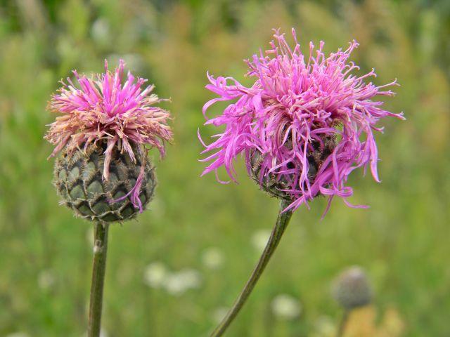 kwiat, na łące, rośliny, flora