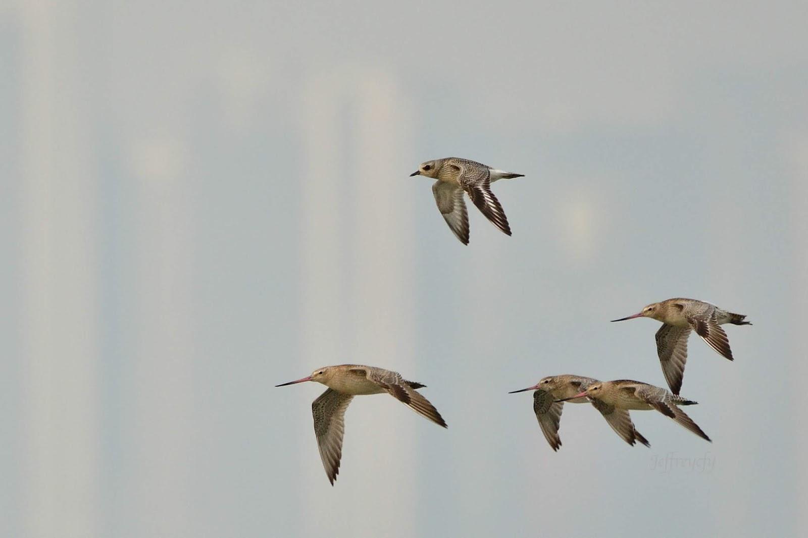 我的生態攝影集: 斑尾塍鷸, 斑尾鷸, Bar-tailed Godwit, Limosa lapponica,
