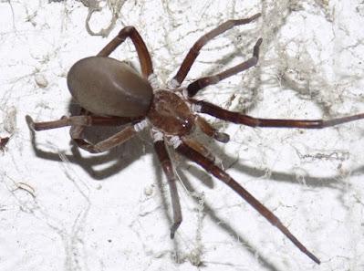 Araña de los timbres (Kukulcania hibernalis)