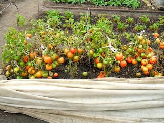 Урожай безрассадных помидоров