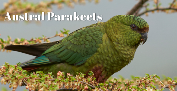 All Types of Parakeets