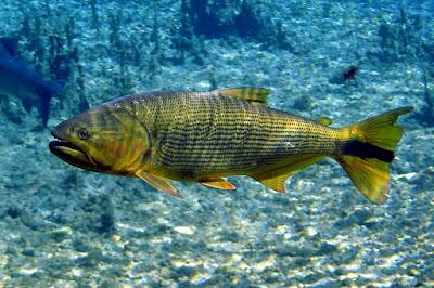 Golden Dorado Si Ikan Salmon Ala Air Tawar