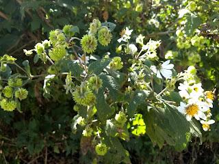 Montanoa grandiflora, Acahual