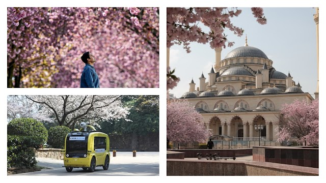 Cherry blossoms devoid of people watching, blooming all over the world