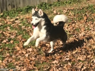 Love is in the Air: Upcoming Miniature SIberian Huskies, Husky Pups!