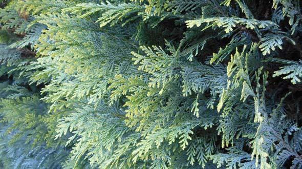 Evergreen thuja hedge trees