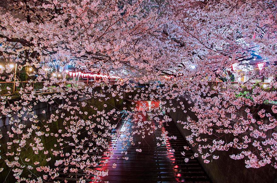 cherry-blossom-sakura-19