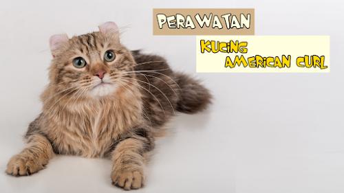 Perawatan Kucing American Curl