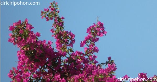 Ciri ciri pohon Bunga Bougenville 1