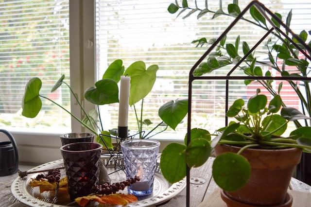 huonekasvi viherkasvi sisustus koti piilea peikonlehti syksy kotoilu huonekasviviikko