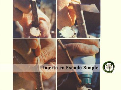 Injerto en Escudo Simple es un Injerto de Púa se usa generalmente en el manzano