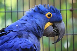 ببغاء الازرق  او Hyacinth Macaw