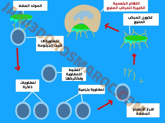 مراحل الاستجابة المناعية النوعية الخلطية
