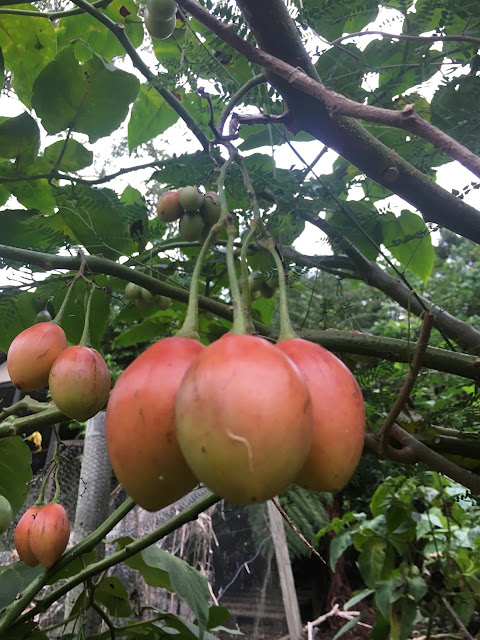 Tree tomatoes are a heavy producer.