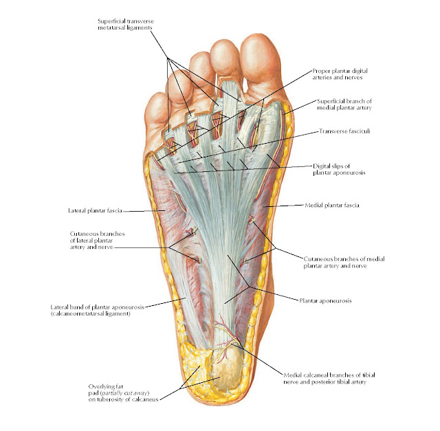 Plantar Region of Foot: Superficial Dissection Anatomy