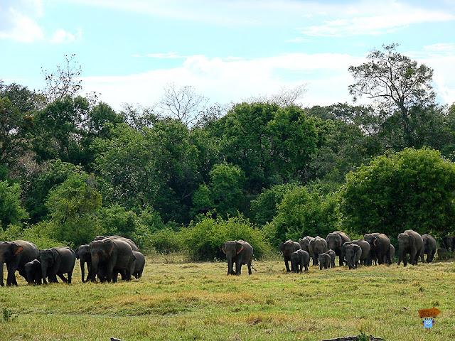 Parque Mineriya - Elefantes en Sri Lanka
