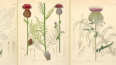 Ilustraciones de cardos (y no tan cardos) en Icones florae Germanicae et Helveticae