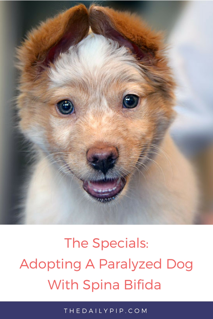 The joys of rescuing and adopting a dog a paralyzed dog with spina bifida
